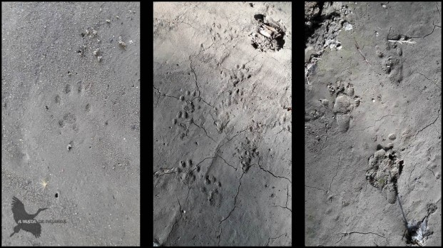 Huellas de garduña a la izquierda y de nutria en las otras dos (19-2-2017)