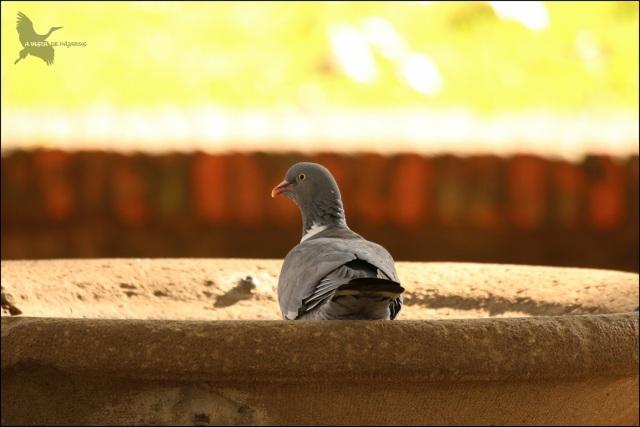 Primera cita de reproducción de paloma torcaz en Pamplona… Nuestra nueva vecina!!!!